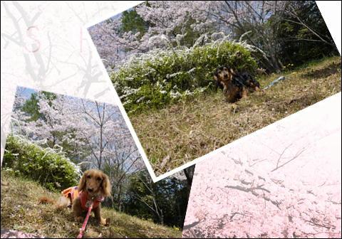 桜2011②