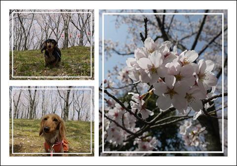 桜2011③