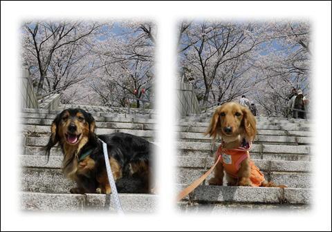 桜2011⑤