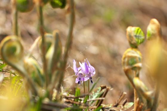 ゼンマイのむこうにカタクリの花