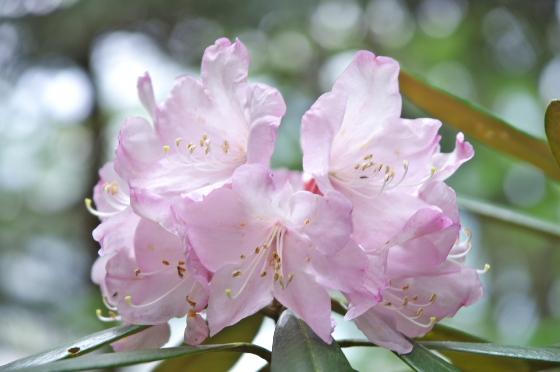 シャクナゲも咲いています