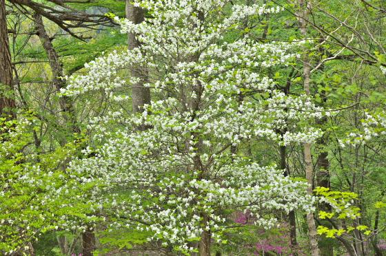 山頂付近で花数が一番多かった五葉躑躅