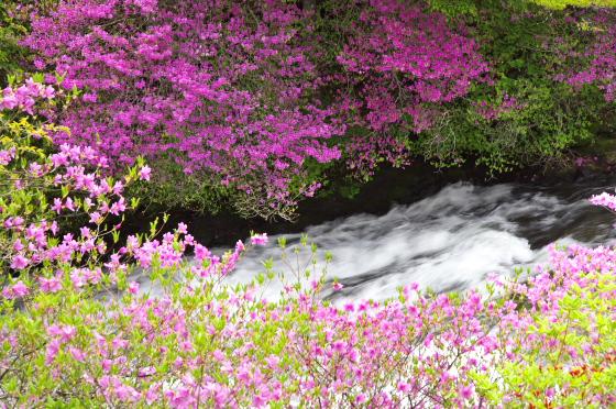 川岸に咲くトウゴクミツバツツジ