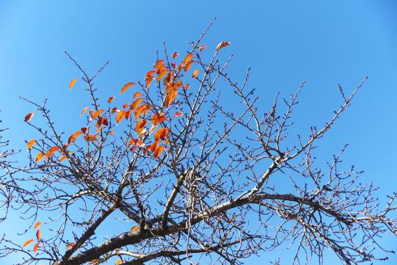 桜も落葉してしまいます