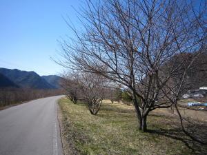 長野の桜1-2
