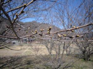 長野の桜1-4