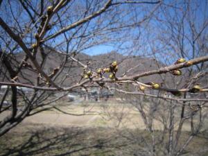 長野の桜1-5