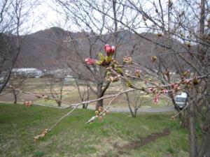長野の桜2-6