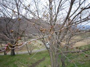 長野の桜2-5