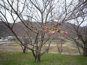 長野の桜2-4