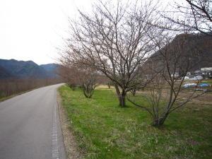 長野の桜2-3