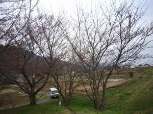 長野の桜2-1