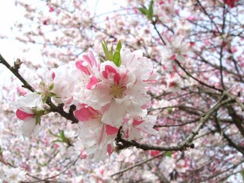 春の小布施9
