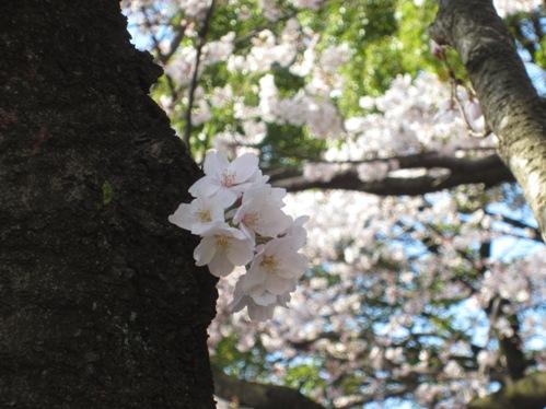 0409桜_05
