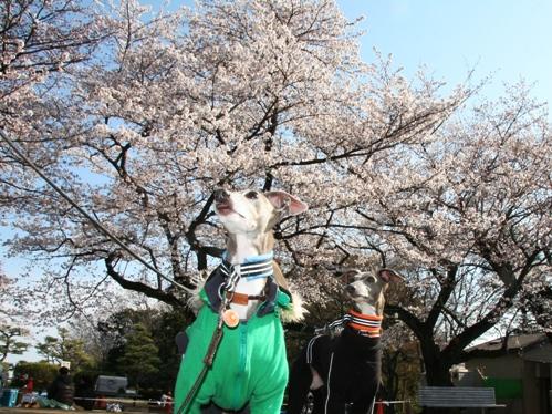 0409桜_04