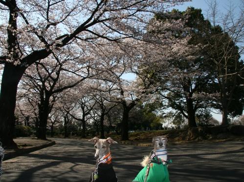 0409桜_03