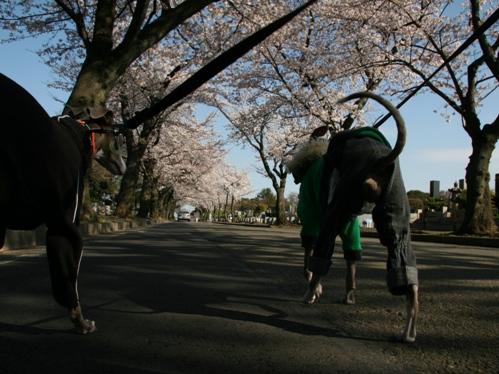 0409桜_02