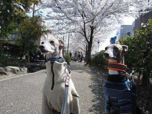 0409桜_07