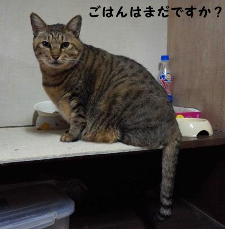 おっさん猫