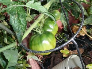 我家のトマト