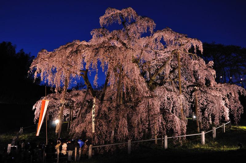 800px-Illuminated_Takizakura.jpg