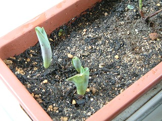 tulip0307_2012.jpg
