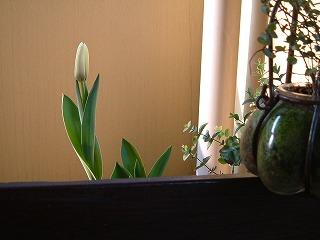tulip0328_2012_1.jpg