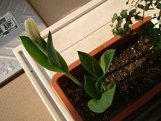 tulip0328_2012_2.jpg