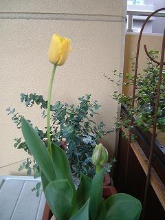 tulip0415_2012.jpg