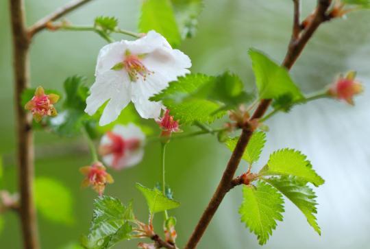 2011.05.27-山桜-1