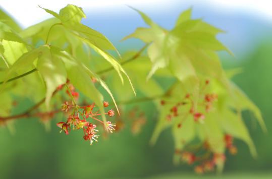 2011.05.30-モミジの花-3