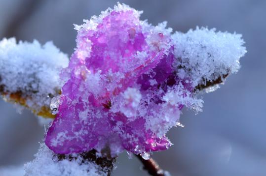 2010.04.24-雪ツツジ-01