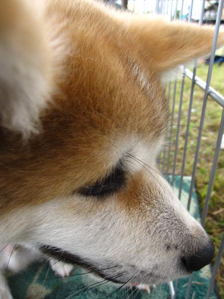 1012きりたんぽ 犬3