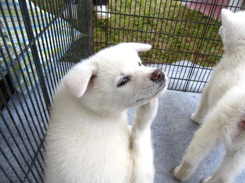 1012きりたんぽ 犬5