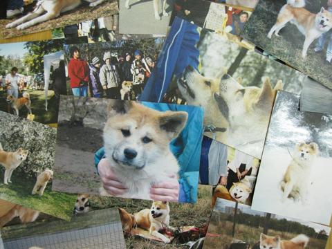 1012秋田犬6