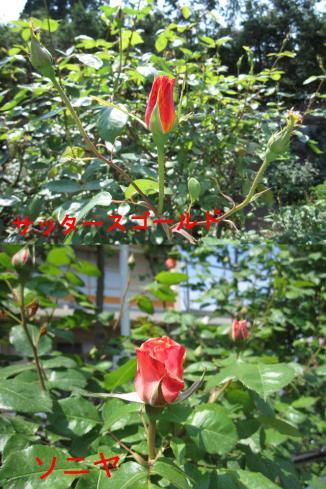 6月7日(火)現在のバラ