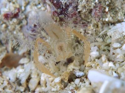 サンゴヒメエビ属の1種