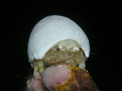 カイカムリ科の1種
