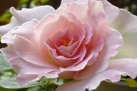 品名 マチルダ  Matilda  系統 モダンローズ フロリバンダ  作出年 国 フランス メイアン 1988年  花色 クリーム白に薄いピンクのぼかしが入る  花 形 丸弁平咲き  花径約 7cm  開花性 四季咲き  樹形 ブッシュ型  香り 微香  樹高 樹高80cm×80cm