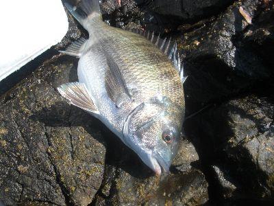 黒鯛40cm