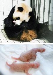 2年ぶりに双子のパンダ誕生、アドベンチャーワールド1