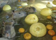 涼しそう~ カピバラ水浴び中 井の頭自然公園3