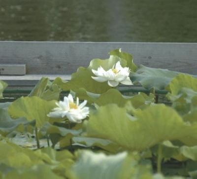 ミドリガメ駆除で佐賀城のお堀のハス復活1