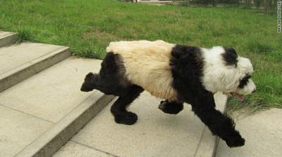 中国で「カラー犬」流行、健康を疑問視する声も1