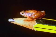 世界最小の新種のカエル3