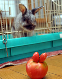 ウサギみたい?両耳のあるトマト1