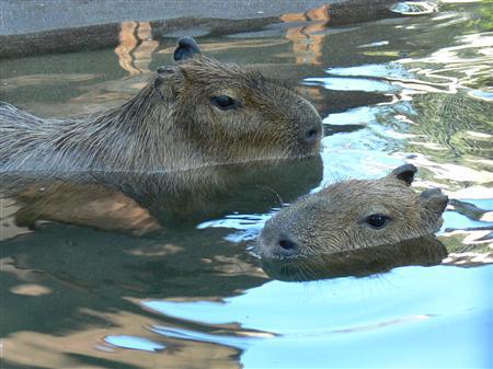 涼しそう~ カピバラ水浴び中 井の頭自然公園1
