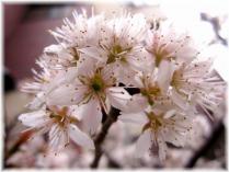 2011桜⑥