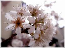 2011桜⑤