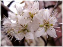 2011桜④